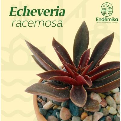 "Echeveria ""Racemosa"""