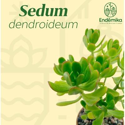 """Sedum """"Dendroideum"""""""