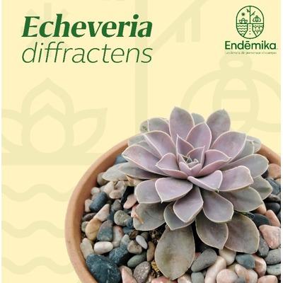"Echeveria ""Diffractens"""