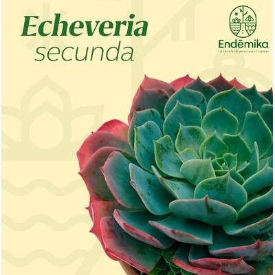 """Echeveria """"Secunda"""""""