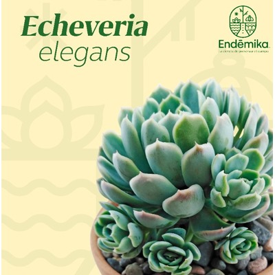 """Echeveria """"Elegans"""""""