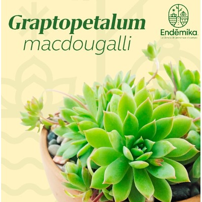 "Graptopetalum ""Macdougallii"""