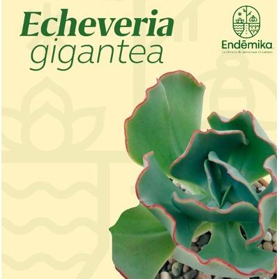 """Echeveria """"Gigantea"""""""
